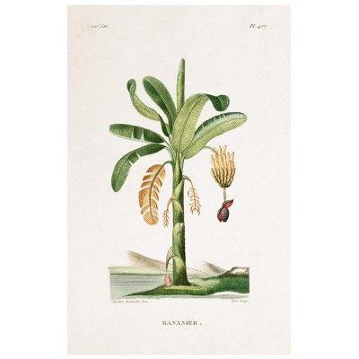 Affiche Planche Botanique - Palmier David & David Studio
