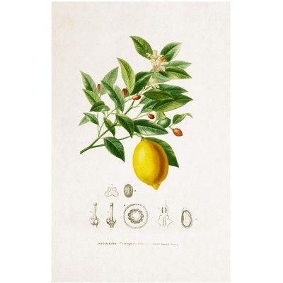 Affiche Planche Botanique - Aloe David & David Studio