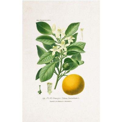 Affiche Planche Botanique - Citron David & David Studio