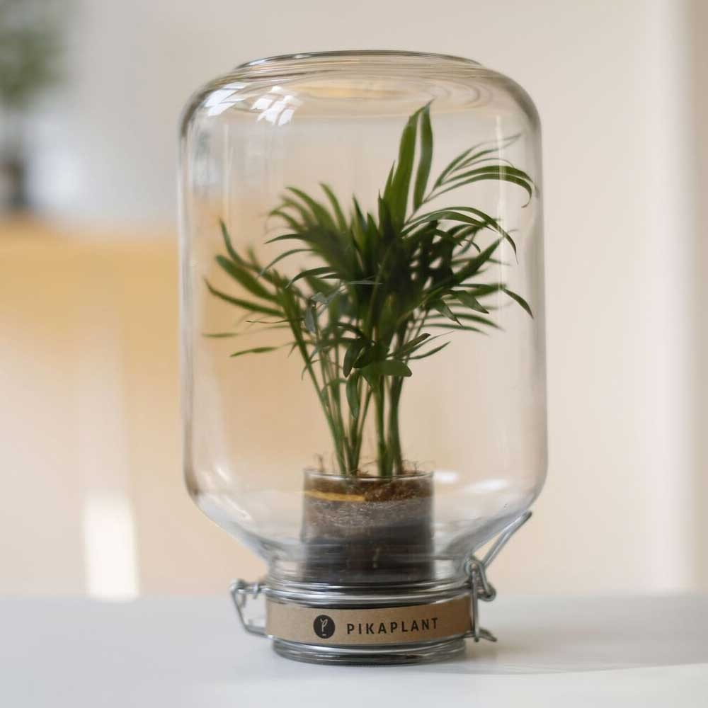 Chamaedorea Palm Jar